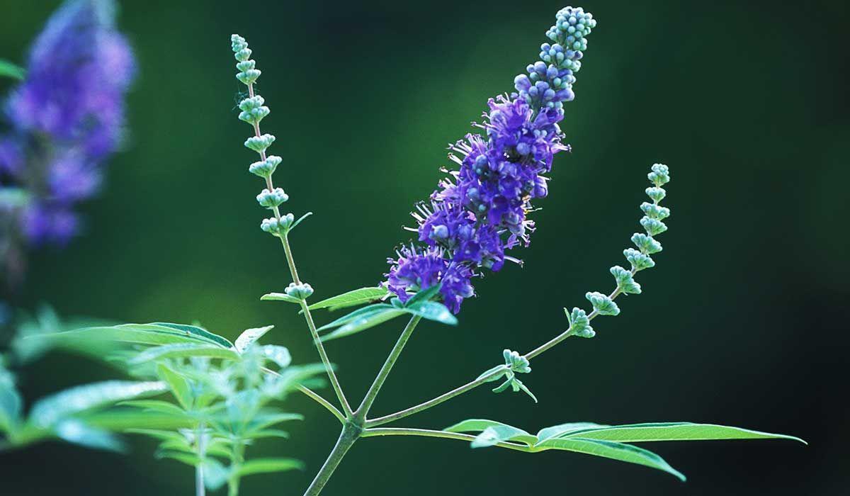 فوائد عشبة كف مريم لتسهيل الولادة Chasteberry Chasteberry Fertility Natural Herbs
