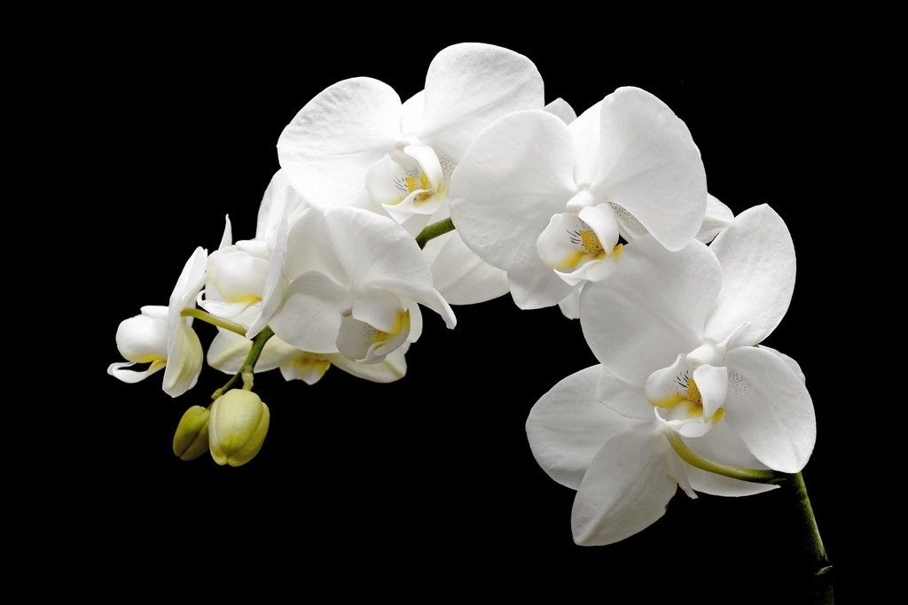 Blossom White Orchid Flowers Wallpaper Orchids Flower