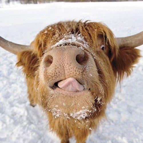 Christmas Card Highland Cattle Wwwimagenesmycom