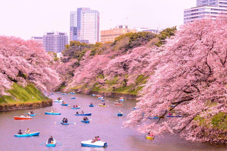 Kitanomaru Park Cherry Blossom Japan Japan Travel Japan Travel Guide