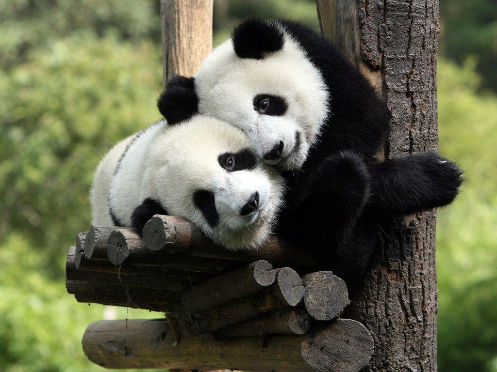 ursinhos-panda.