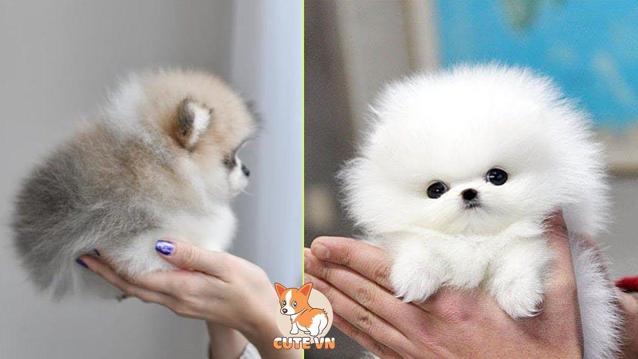Mini Pomeranian Funny And Cute Pomeranian Videos 6 Cutevn Mini Pomeranian Cute Pomeranian Pomeranian Puppy