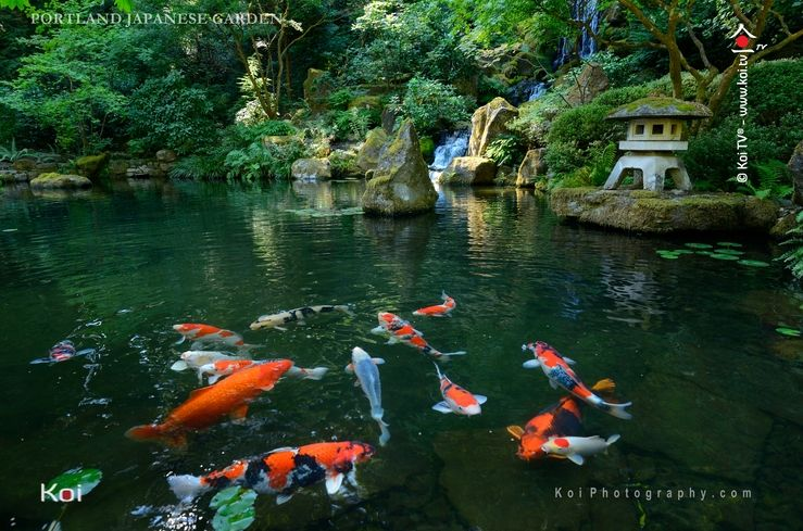 the hills are alive with koi at the portland japanese garden - Japanese Koi Garden