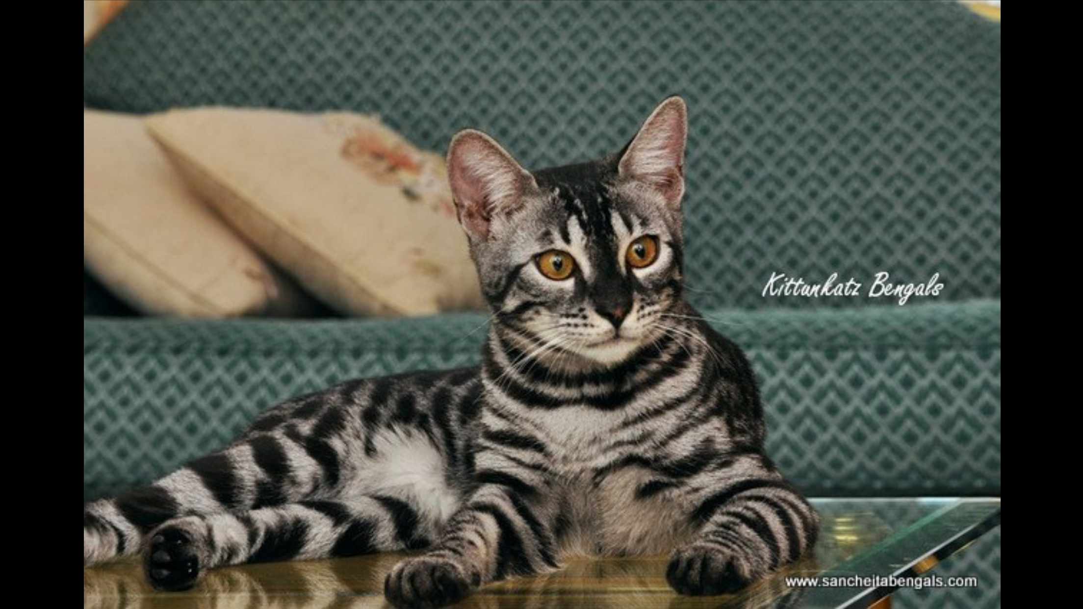 Bengal cat image by Kristine on CheetohPixiebobBengal