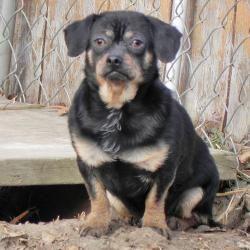 Adopt Peter On Rottweiler Mix Rottweiler Dog Rottweiler