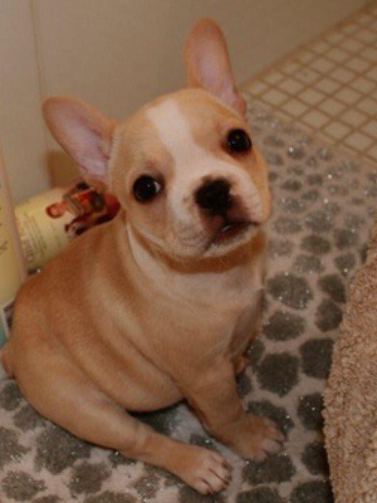 French Bulldog Puppy ready for a Bath.