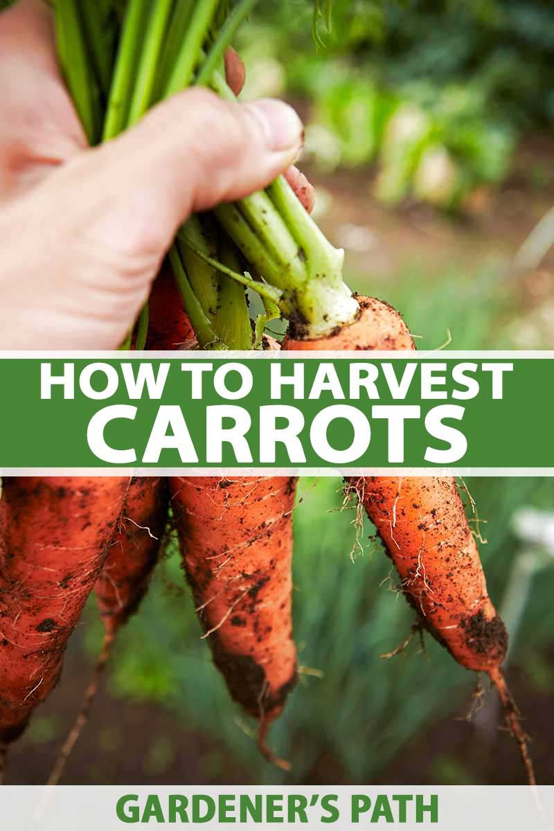 How And When To Harvest Carrots Gardener S Path When To Harvest Carrots Harvesting Carrots How To Plant Carrots