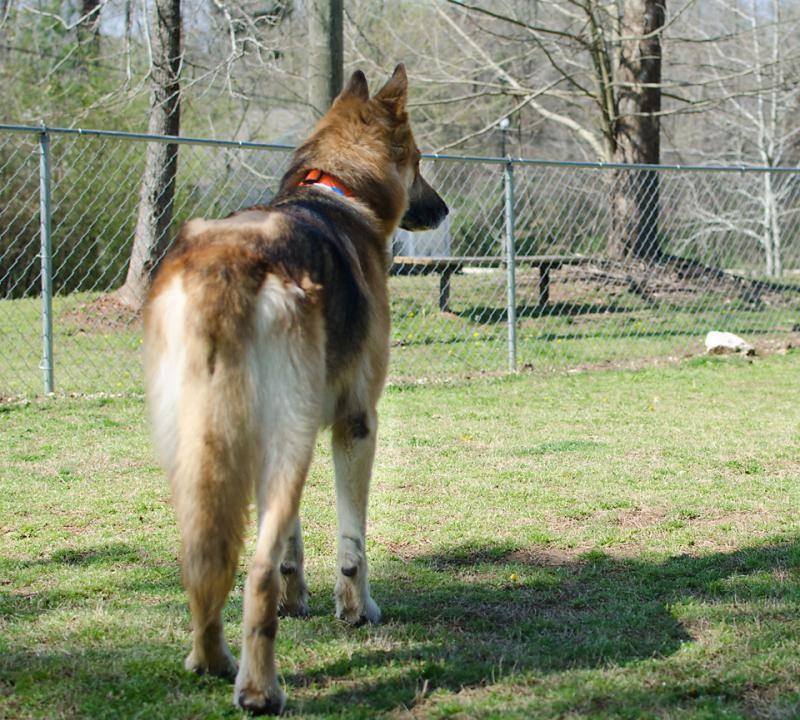 Adopt Charlie On Petfinder German Shepherd Dogs German Shepherd Shepherd Dog