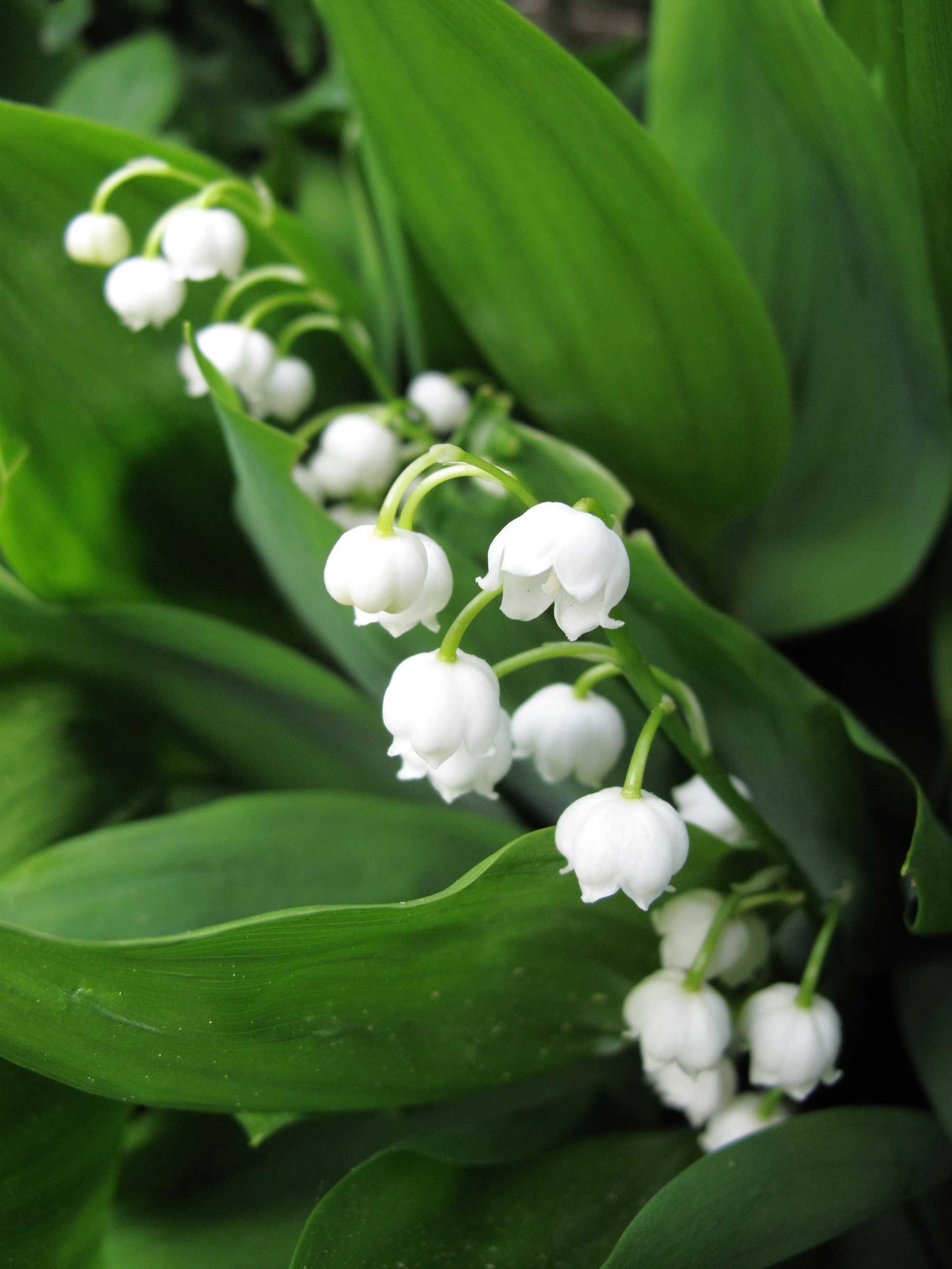 Growing Lily Of The Valley Tips And Tales Ground