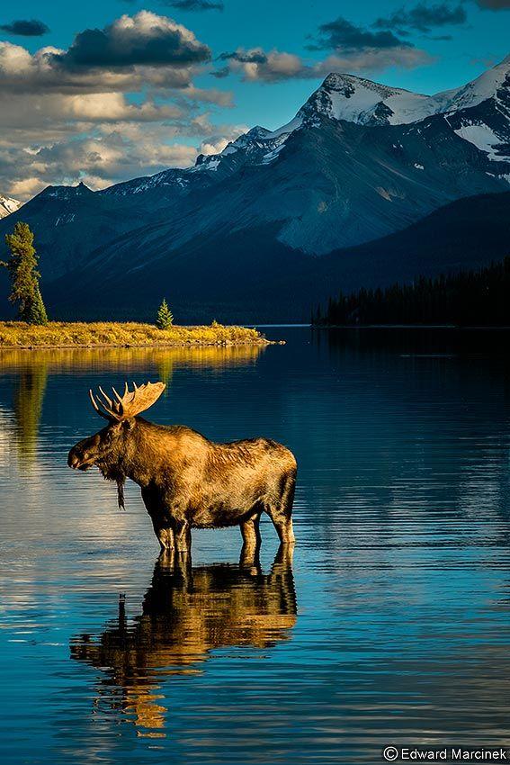 Canadian Rockies Golden Moose At Maligne Lake Nature National