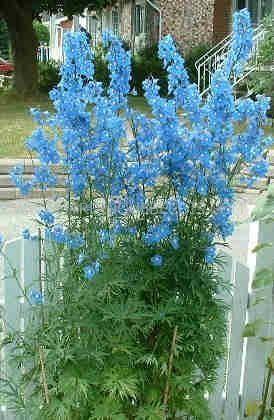 Delphinium belladona 'West End Blue'    Zone 4    Sol frais, riche et drainé    Soleil, mi-ombre    Semer, diviser    Hauteur: 90 cm    Largeur: 60 cm    Fleurs: juin à sept