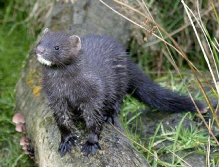 Pictures of wild black mink #11