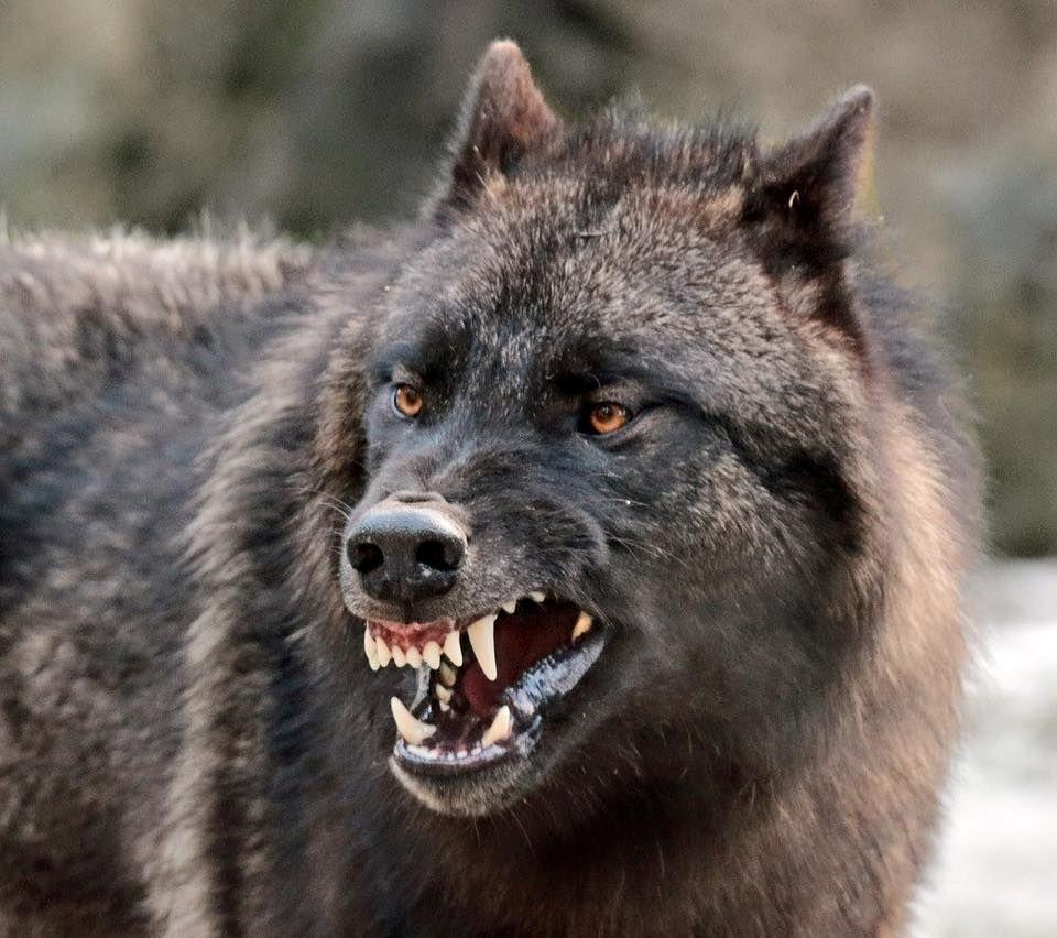 фото волчьего оскала комната