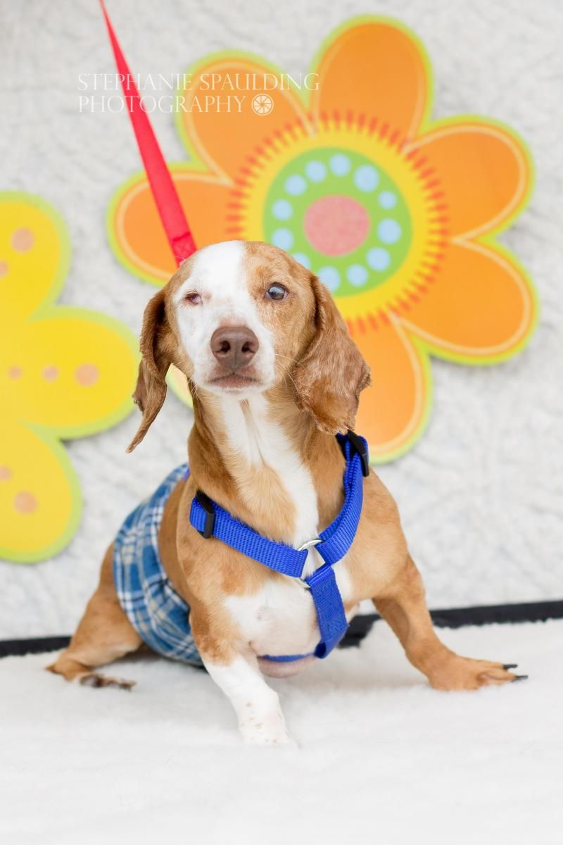 Adopt Gabriel Gabe On Adoptable Dachshund Dog Dachshund Rescue Animal Rescue