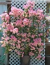 beautiful bougainvillea on trellis
