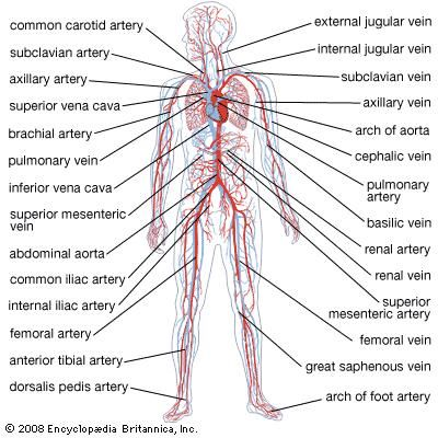 Parts Of The Circulatory System Human Circulatory System