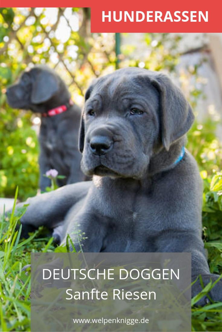 Die Deutsche Dogge ist in der Regel ein sehr großer Hund