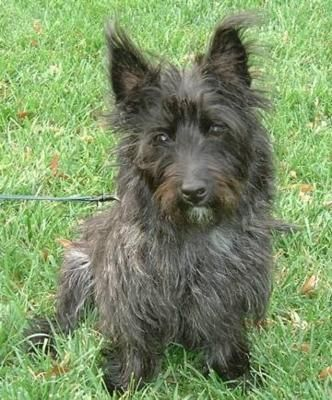 Cairn Terrier I Think My Dog Is 1 2 This And 1 2 Jack Russell We