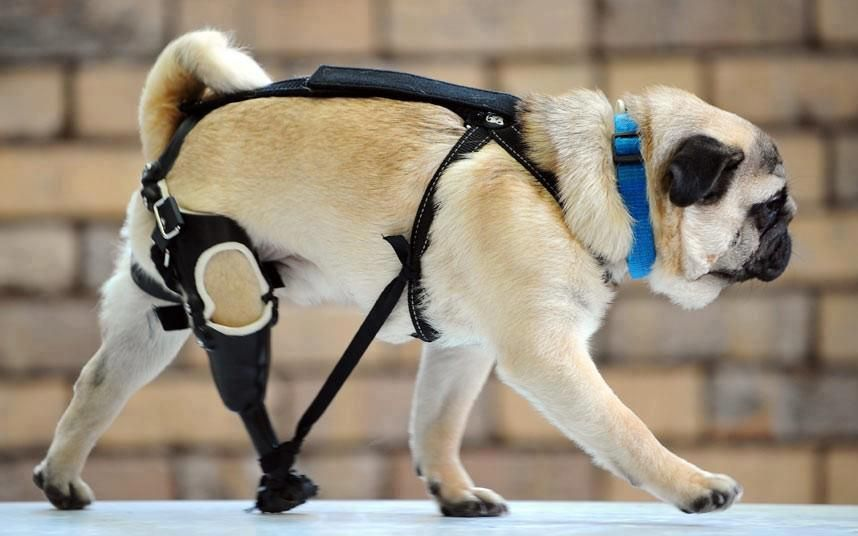 Brave Edward The Pug Showing Off His Artificial Leg Pug Puppies