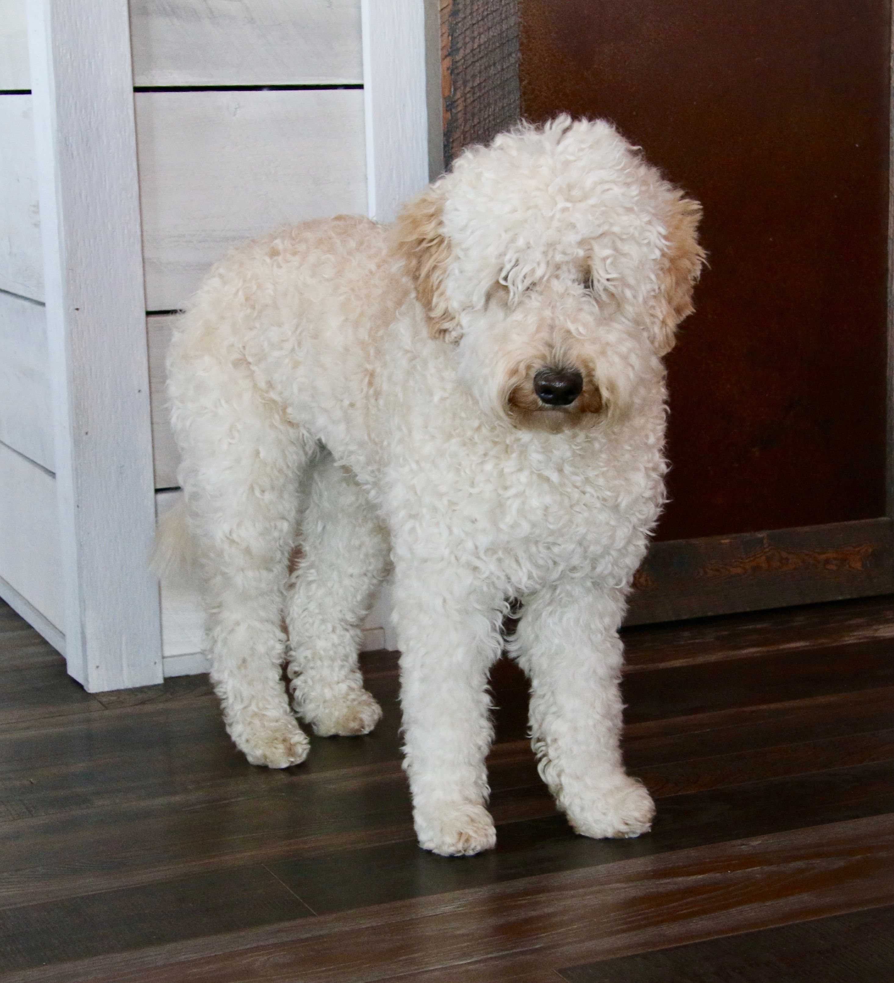Pin On Labradoodles Of Montana