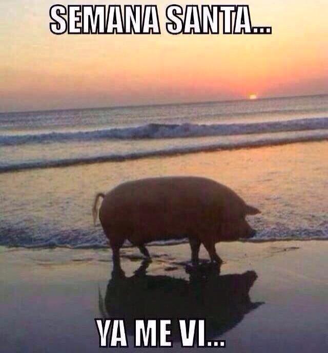 Semana Santa Playa Alberca Semanasanta Funny Pictures Rare Pictures Cute Pigs