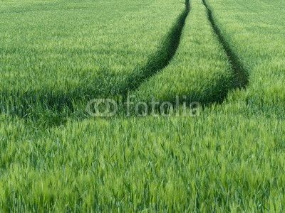 Getreidefeld mit tiefen Traktorenspuren im Teutoburger Wald bei Oerlinghausen in Ostwestfalen-Lippe