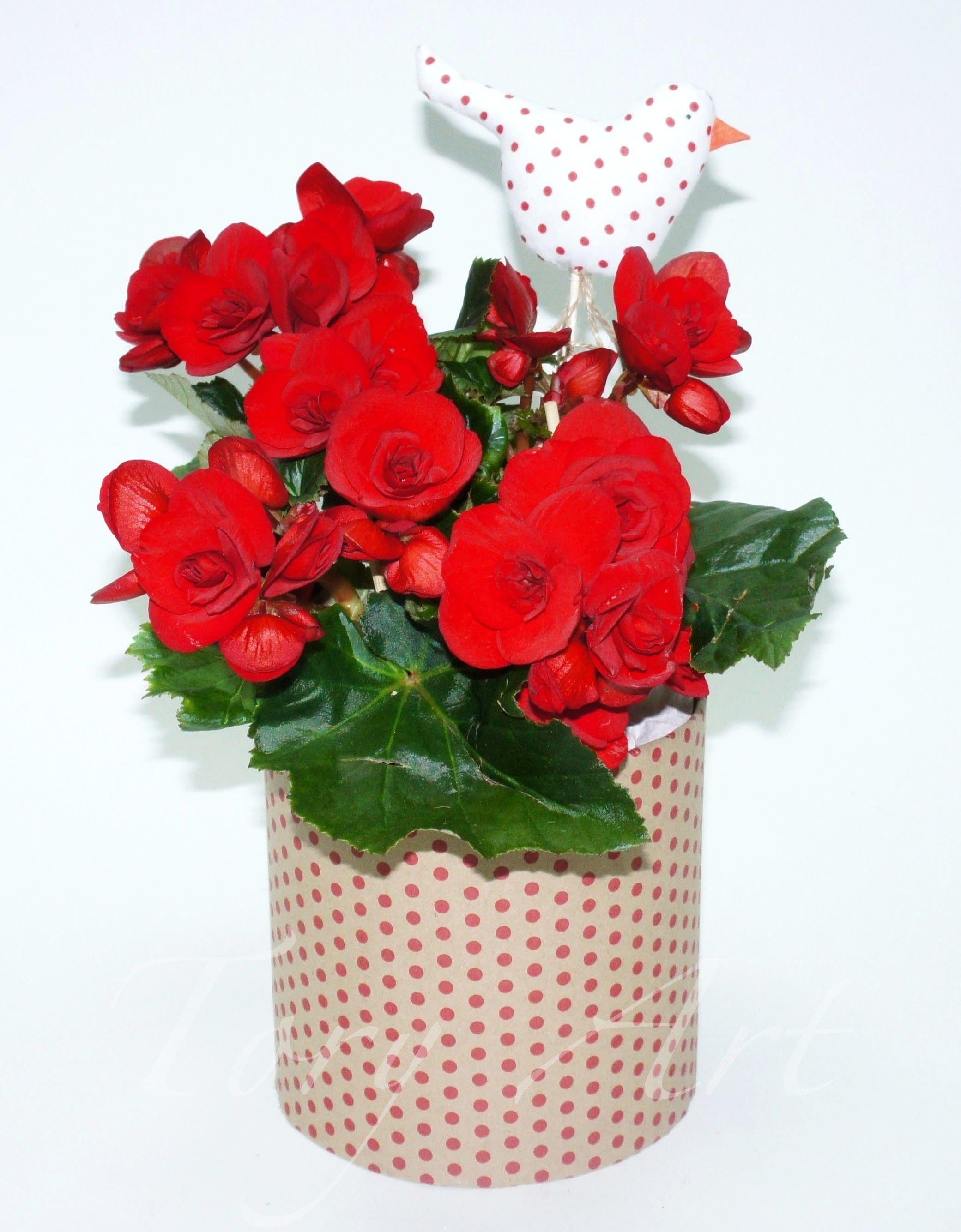 Бегония в коробке красная   Цветы в горшках, Комнатные ...