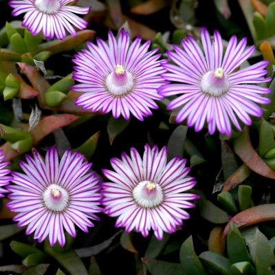 ruschia lineolata plantes couvre sols couvre sol plantes couvre sol et jardins. Black Bedroom Furniture Sets. Home Design Ideas