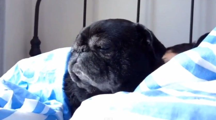 Turn Down For What Higgin The Pug Twitching Three Million Dogs