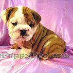 English Bulldog Puppy ~ ePuppyPro ~ BonBon by Cindy Stephens