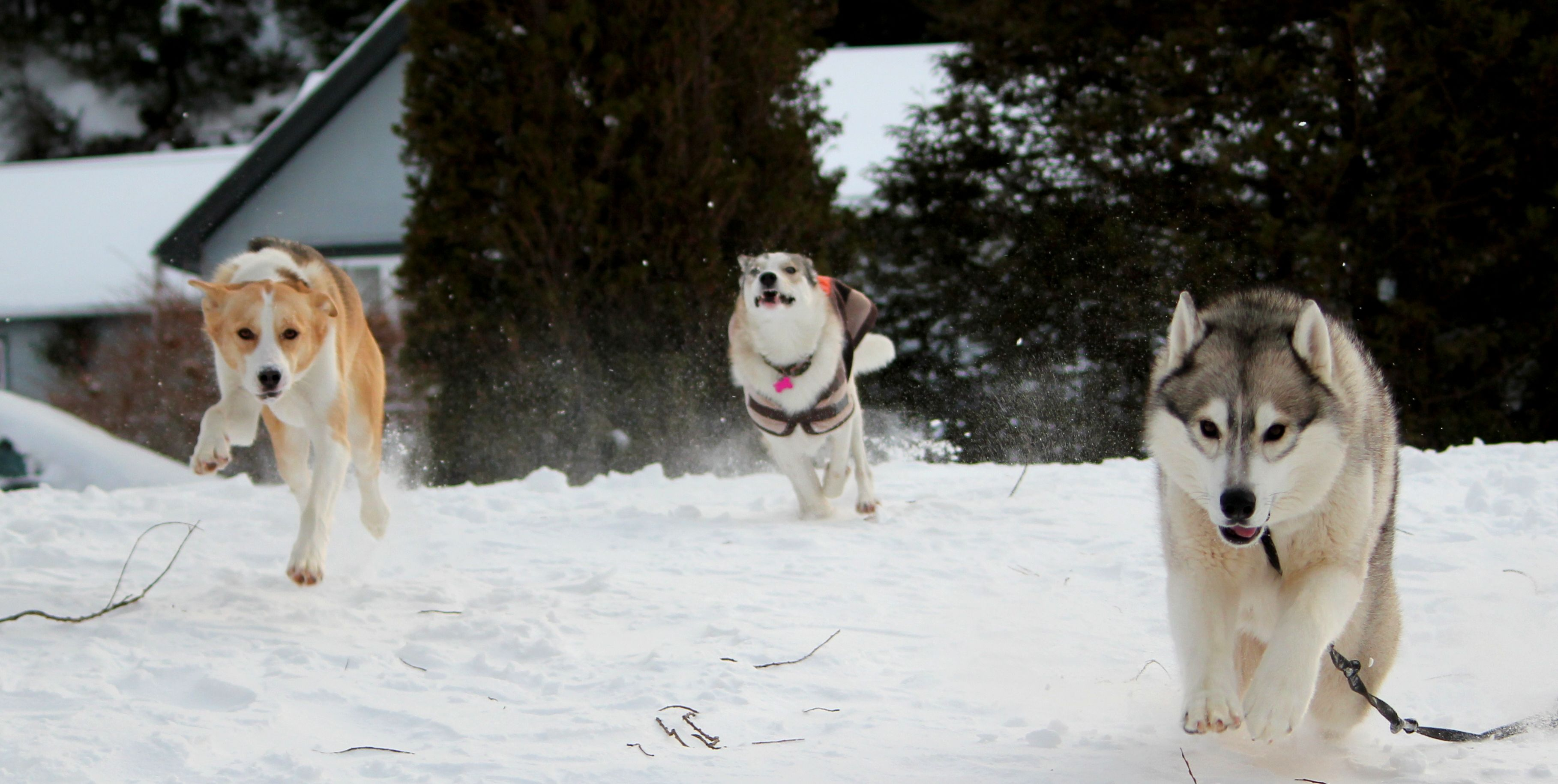 Huskies playing in the snow!
