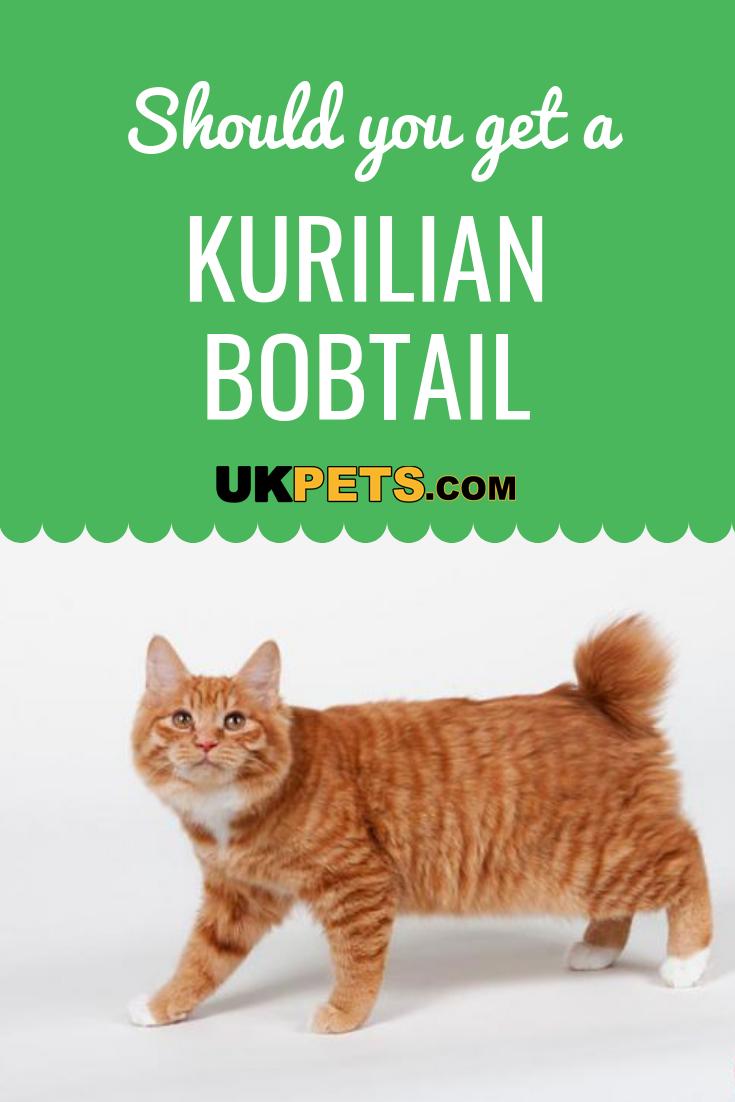 Kurilian Bobtail Cat Breed Information Uk Pets Bobtail Cat Cat Breeds Cat Noises