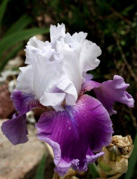 Purple And White Frilly Iris Free High Resolution Photo Dimensions 2592 3400 Iris Flowers Beautiful Flowers Iris