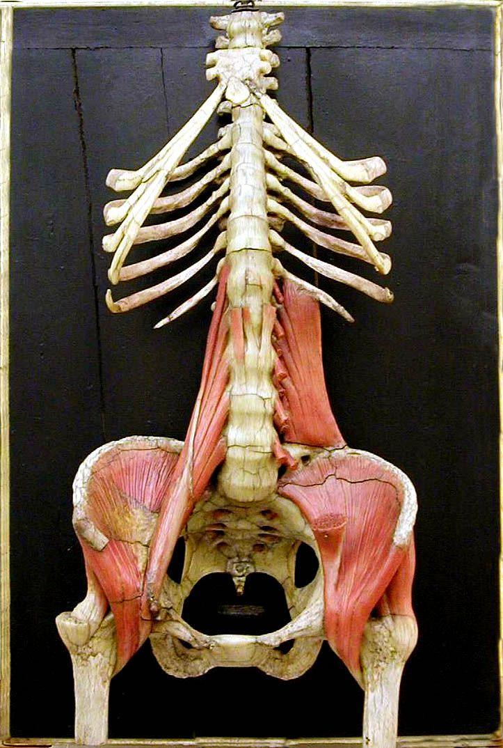 Giuseppe Astorri. Scheletro del tronco e del bacino con alcuni muscoli annessi.