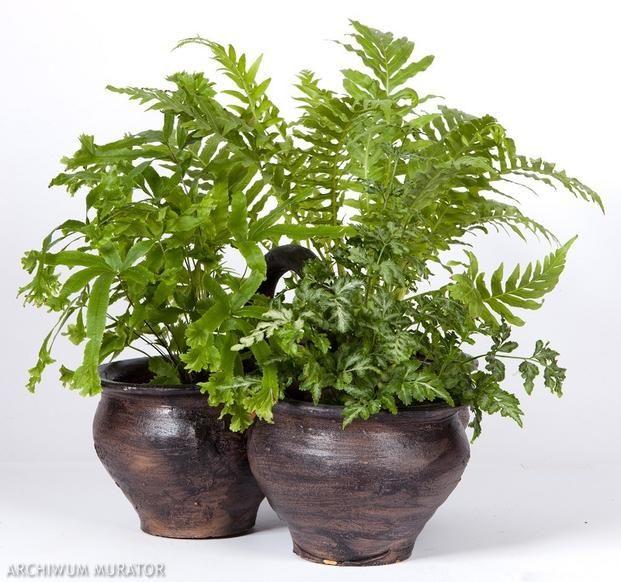 Najpopularniejsze Domowe Paprocie Doniczkowe Plants