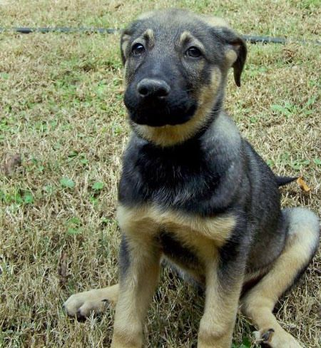Rupert A Blue Heeler And German Shepherd Mix He Looks Just Like