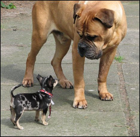 Chihuahua Bull Mastiff My Two Favorites Chihuahua Puppies