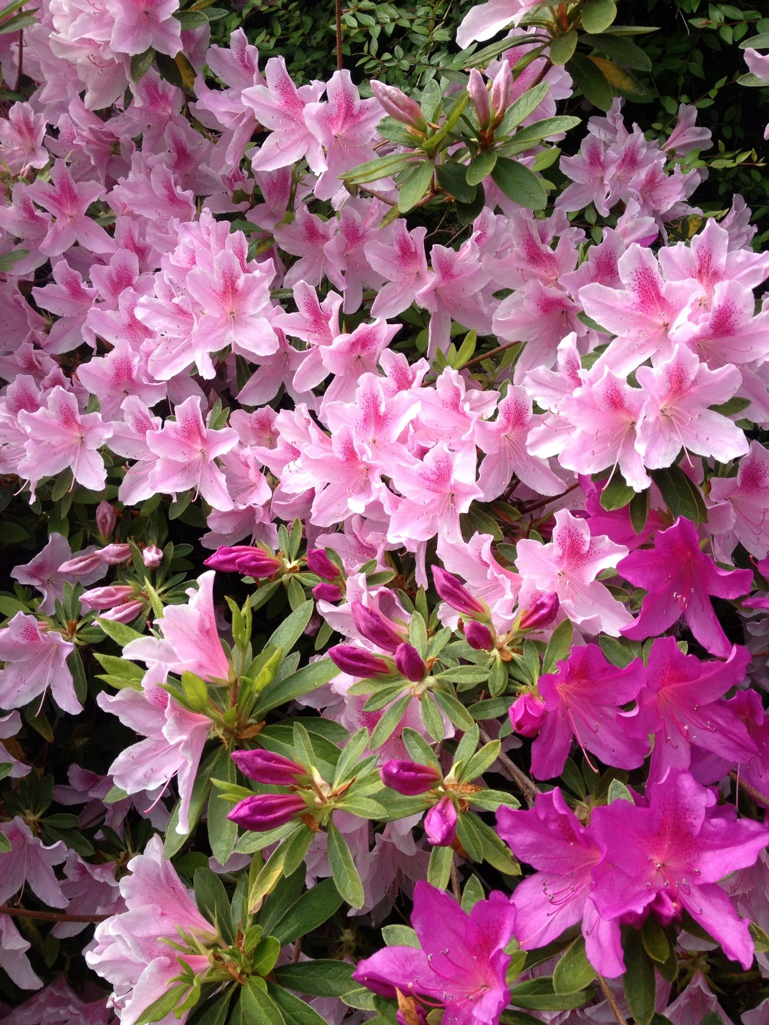 Azaleas I Had Pink White Yellow And Purple Azalea Flower Blooming Plants Beautiful Flowers