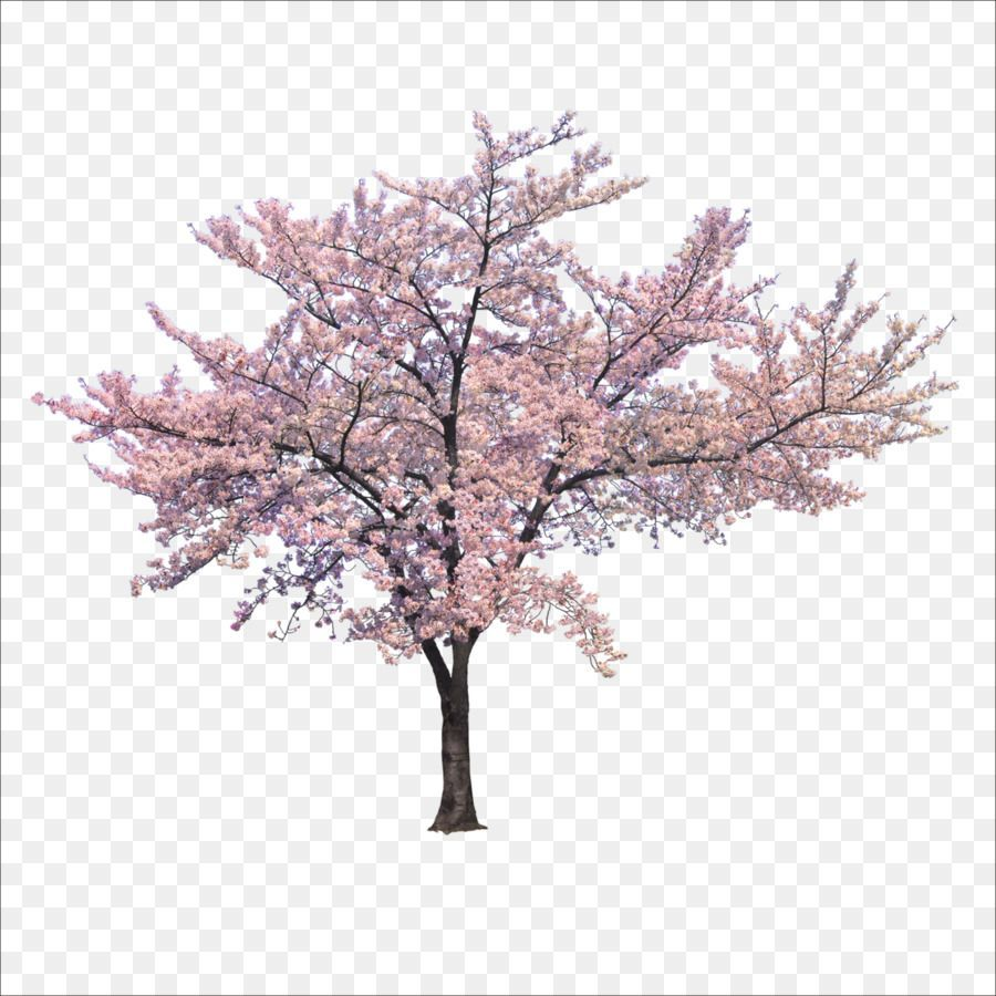 Cherry Blossom Tree Unlimited Download Cleanpng Com Blossom Cherry Cleanpngcom Download Tree Unlimited Pink Trees Cherry Blossom Tree Blossom Trees