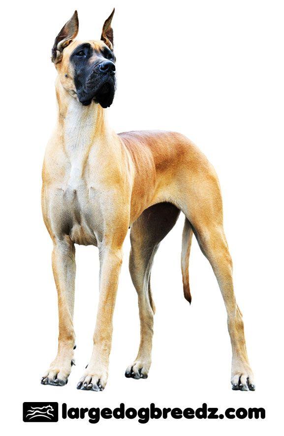 Great Dane Dog Breed Origin and History — Largedogbreedz.com