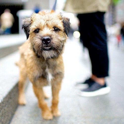 Charles Barkley Border Terrier 59th Madison Ave New The