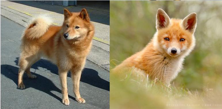 dog that looks like a fox - 771×379