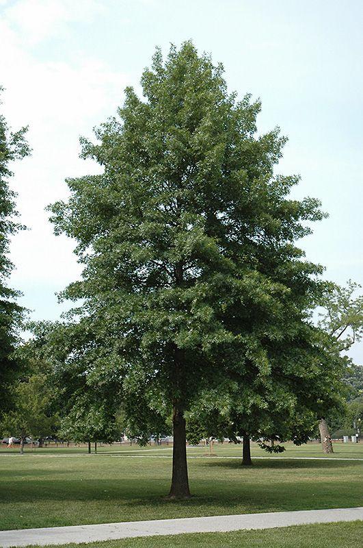 Pin oak quercus palustris at connon nurseries cbv for Garden deciduous trees