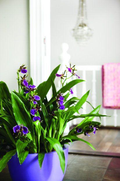 Storczyk Zygopetalum Plants