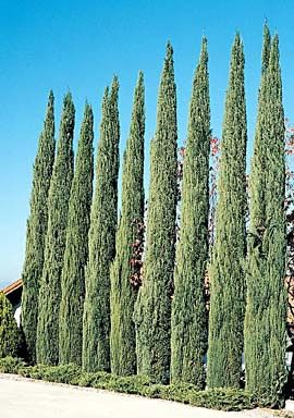 Italian Cypress Trees For Privacy Around The Whole