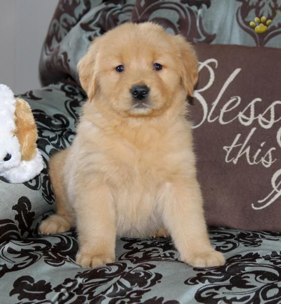 Charmer Golden Retriever Puppy For Sale In Manheim Pa