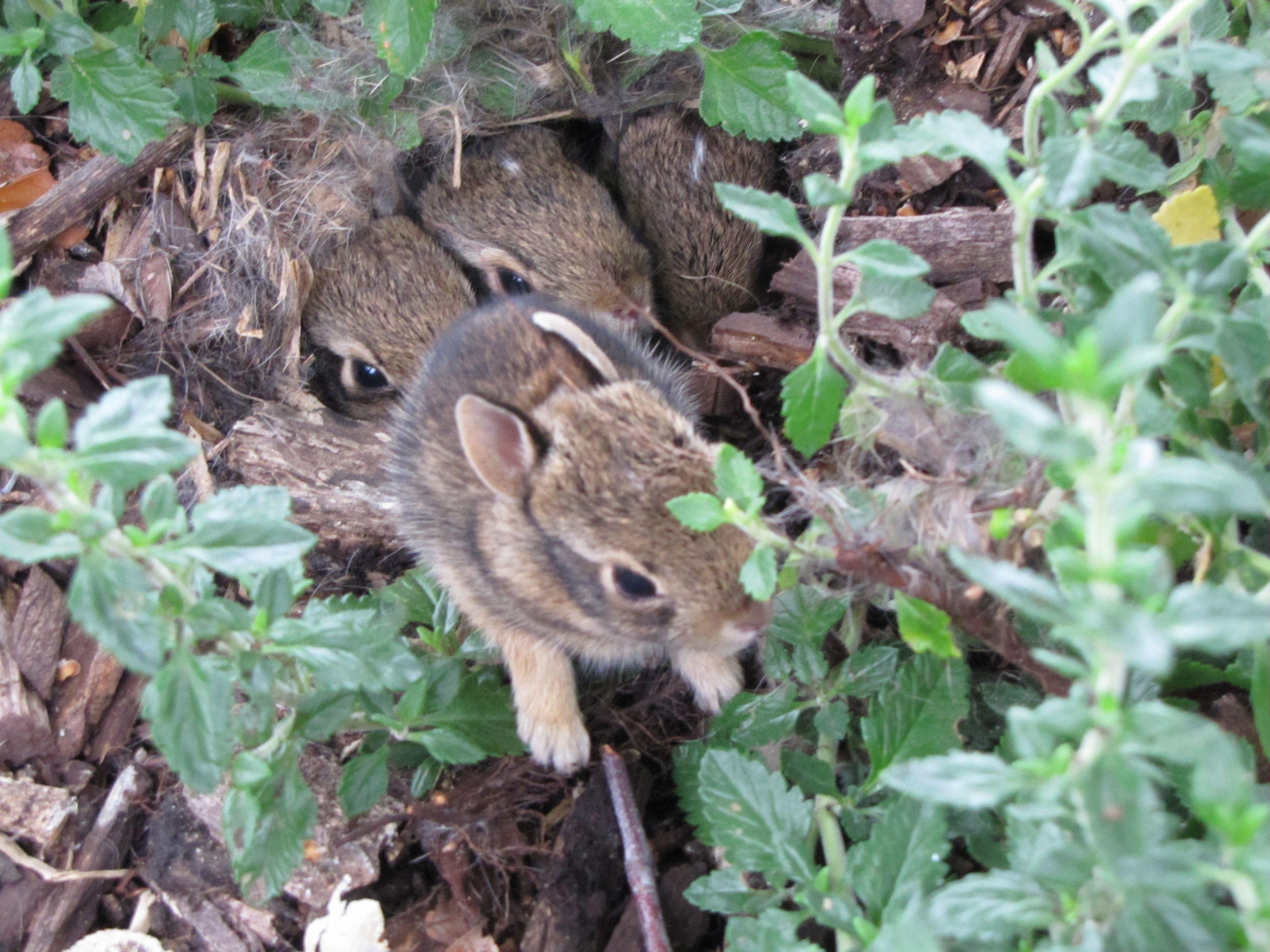 Baby bunnies in my backyard | Baby bunnies, Animals, Critter