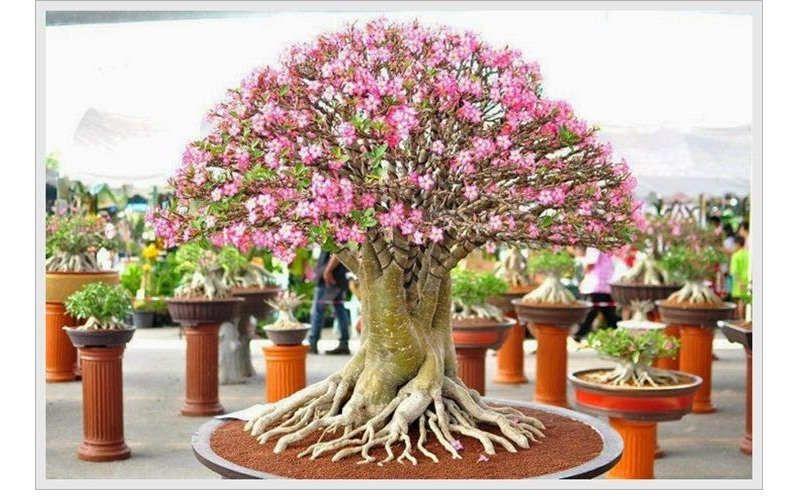 Gambar Cara Merawat Bunga Kamboja Jepang Hias Pot Bunga