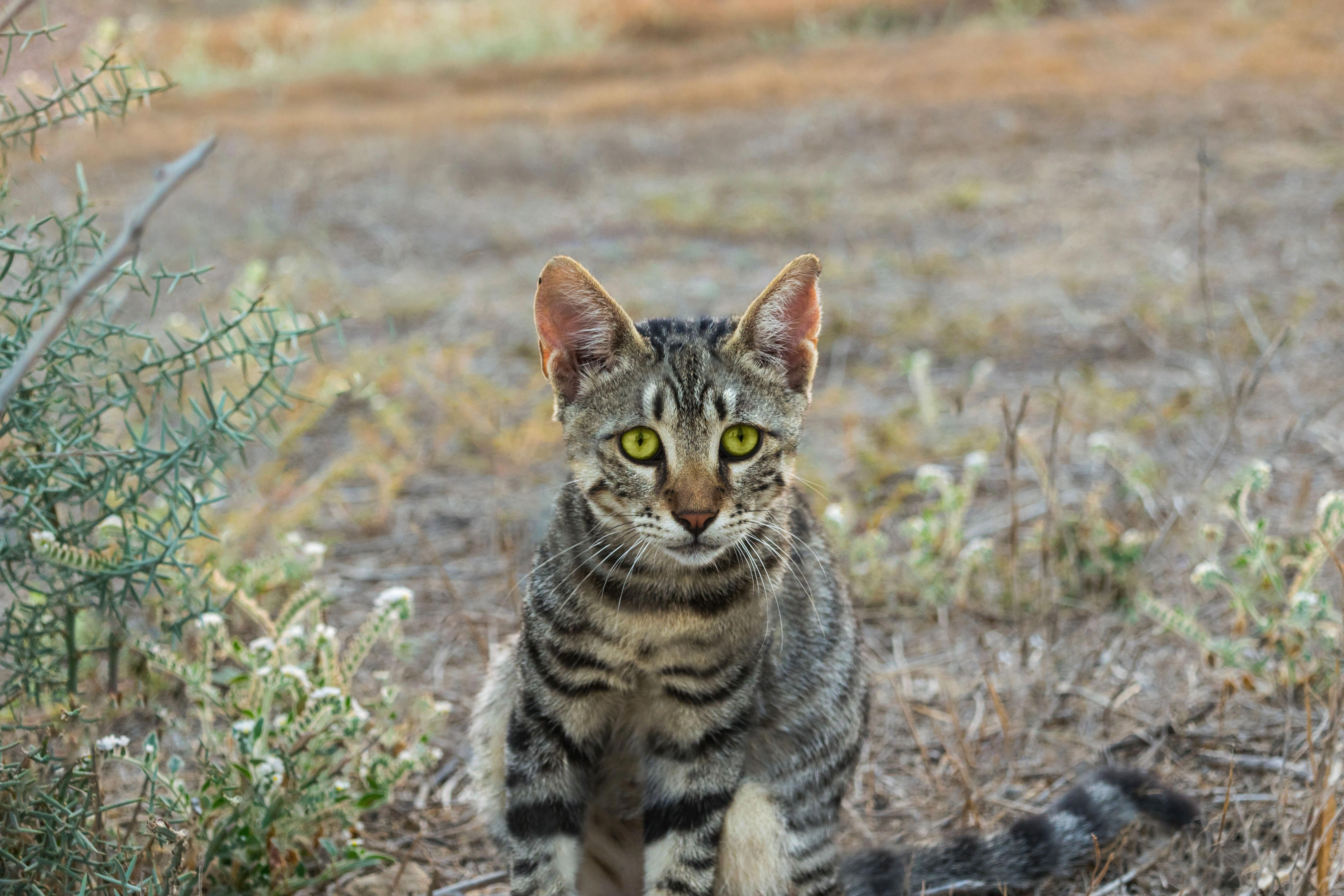 The Wild And Friendly Bengal Cat Breed Bengal Cat Origins A