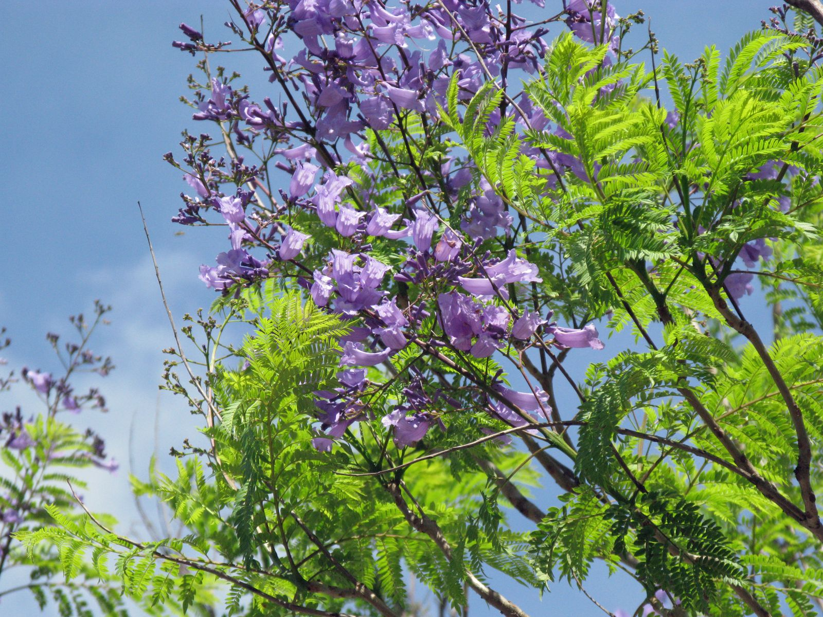 trees | Orchid Tree, Jacaranda, Royal Poinciana, and ...